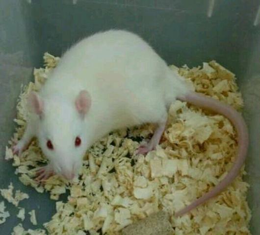 Twister Rato de laboratório