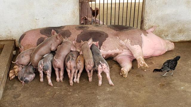 Vendo filhotes de porco e Porco para o abate