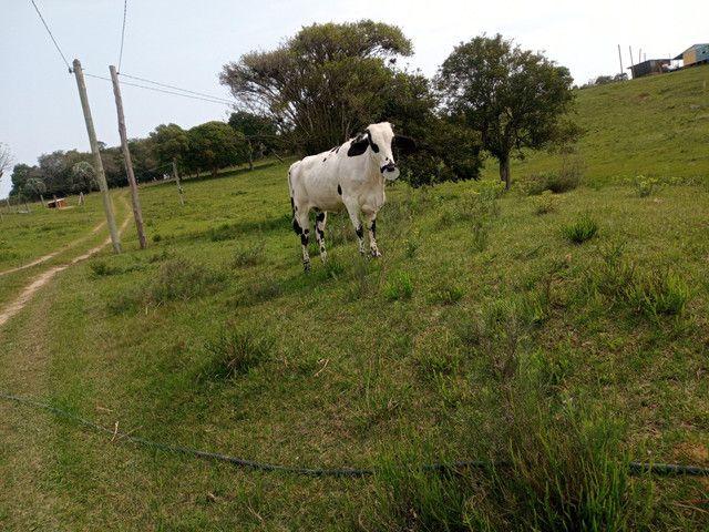 Vaca 2 cria cm uma linda novilha barbada - Foto 3