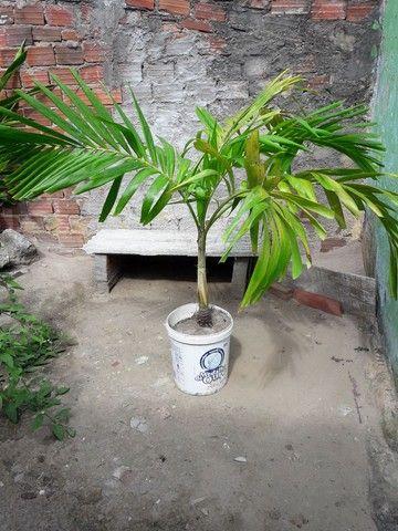Palmeira índiana ou mexicana  - Foto 2