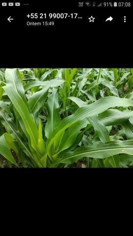 Palha de milho verde