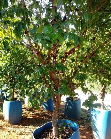 Mudas de coco anao e Jabuticaba produzindo - Foto 2
