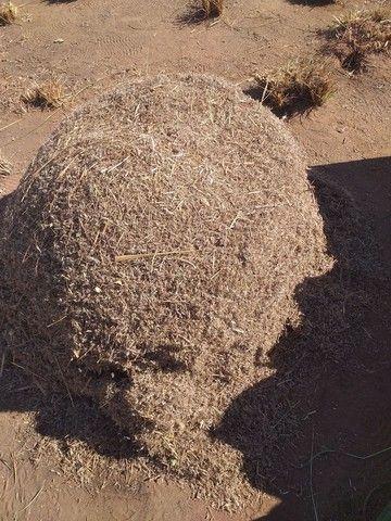Vendo semente Andropogon para pasto  - Foto 2