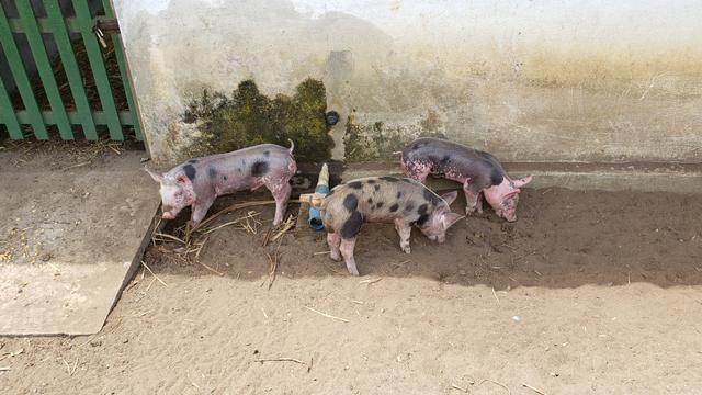 Vendo filhotes de porco e Porco para o abate - Foto 6