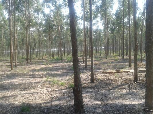 160 hectares,45 hectares eucaliptos, região de reserva do cabaçal- MT, Ocasião - Foto 4