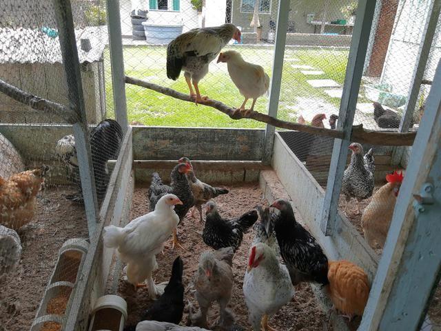 Vendo frangos ornamentais e caipira - Foto 3