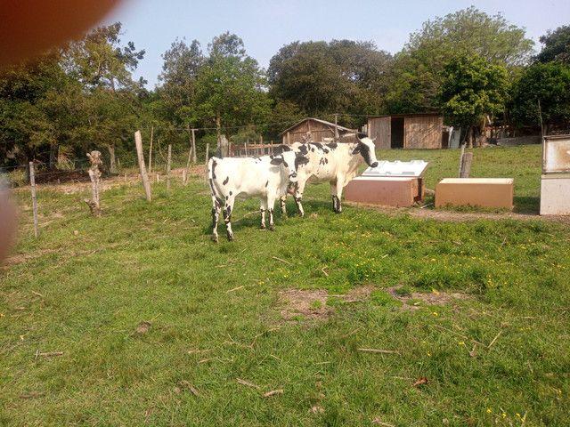 Vaca 2 cria cm uma linda novilha barbada - Foto 2