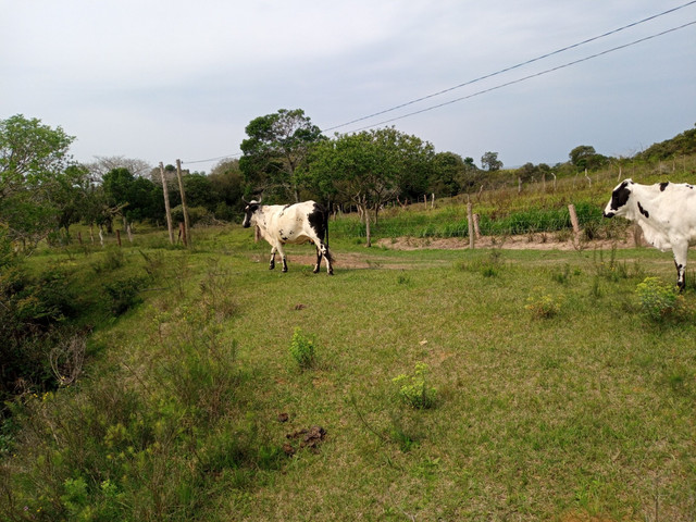Vaca 2 cria cm uma linda novilha barbada - Foto 4