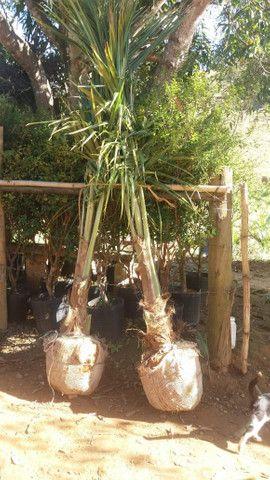 Mudas de coco anao e Jabuticaba produzindo - Foto 4