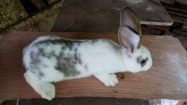 Coelha gigante crioula Adulta - Foto 3