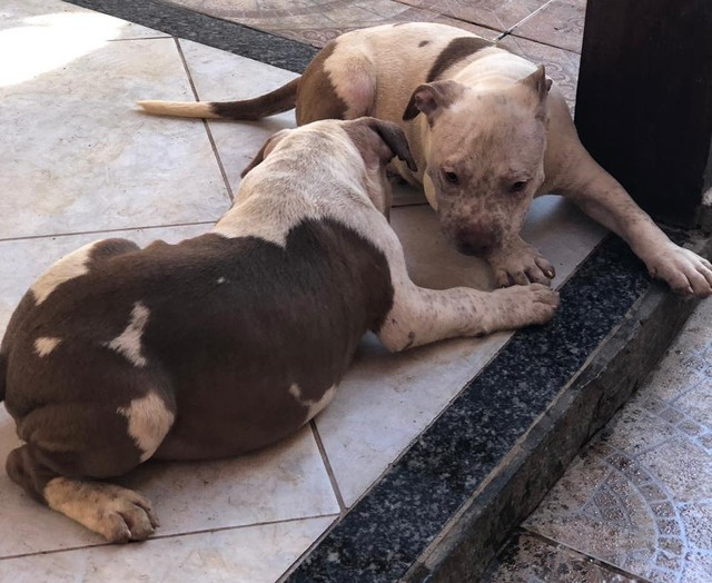 Lindos Filhotes de Pitbull com American Bully - Foto 2