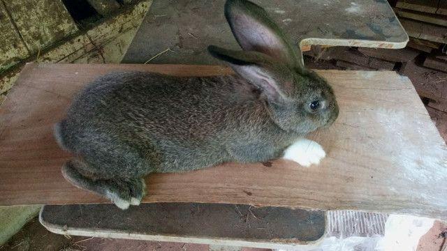 Coelha gigante crioula Adulta - Foto 5