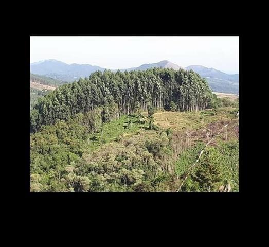 14 mil pés de eucaliptos