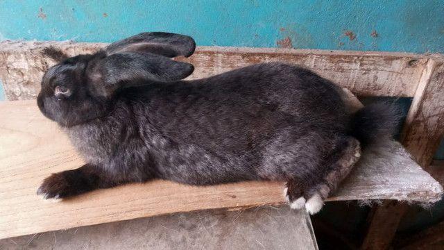 Coelha gigante crioula Adulta - Foto 6