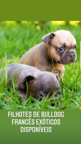 Vendo filhotes de Bulldog francês Blue exóticos  - Foto 3