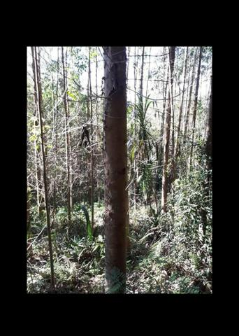 14 mil pés de eucaliptos - Foto 3