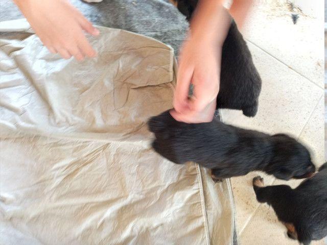 Filhote de Rottweiler  - Foto 3