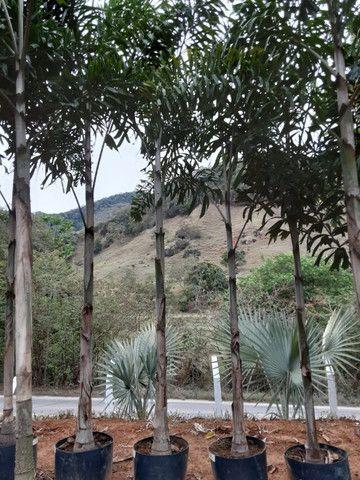 Mudas de coco anao e Jabuticaba produzindo - Foto 6