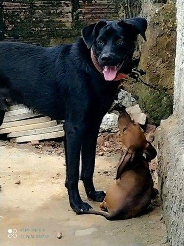 Doação de cachorro labrador - Foto 3