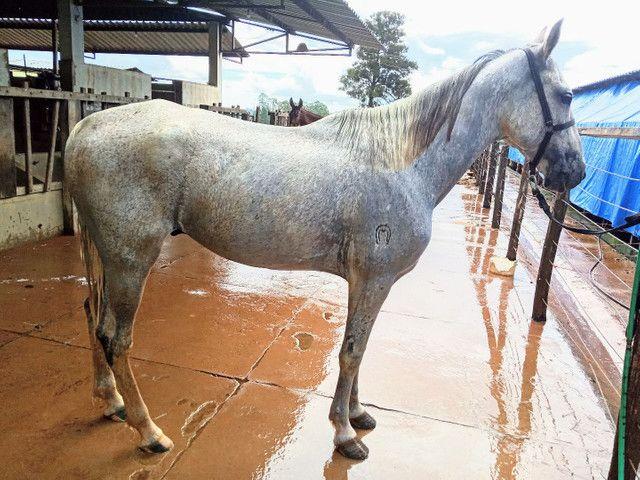 Cavalo Castrado Mangalarga Marchador - Foto 2