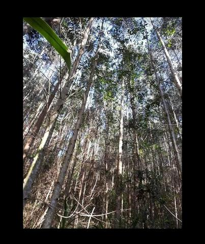 14 mil pés de eucaliptos - Foto 2