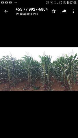 Palha de milho verde - Foto 2