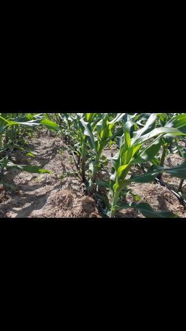Palha de milho verde - Foto 3