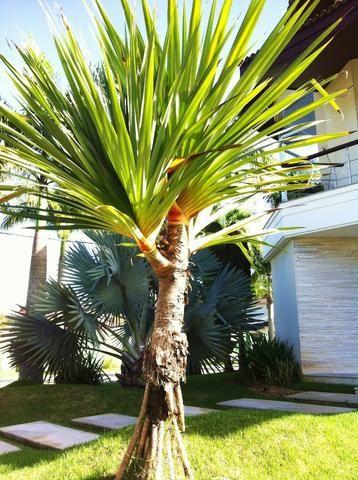 Palmeira Pandanus Produção Rural Barra De Guaratiba Rio De Janeiro 727542233 Olx