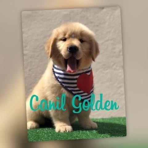 Golden Retriever Filhote... com Pedigree e Garantia de Saúde  - Foto 3