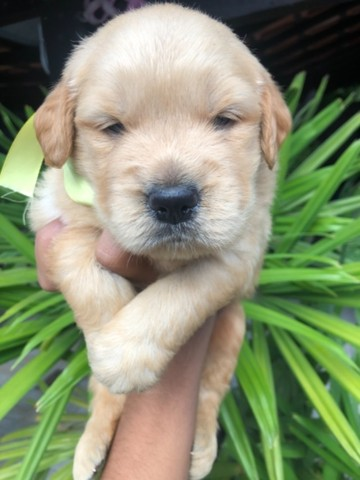 Lindos! Golden Retriever com Pedigree Recibo Garantia  - Foto 6