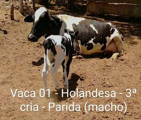 2 vacas paridas - Foto 5