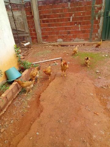 Lote de frangos 150,00 - Foto 2