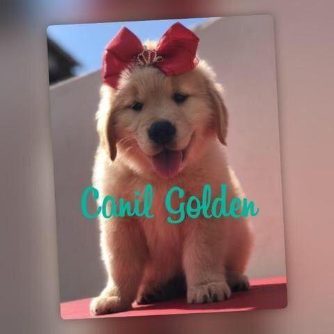 Golden Retriever Filhote... com Pedigree e Garantia de Saúde  - Foto 2