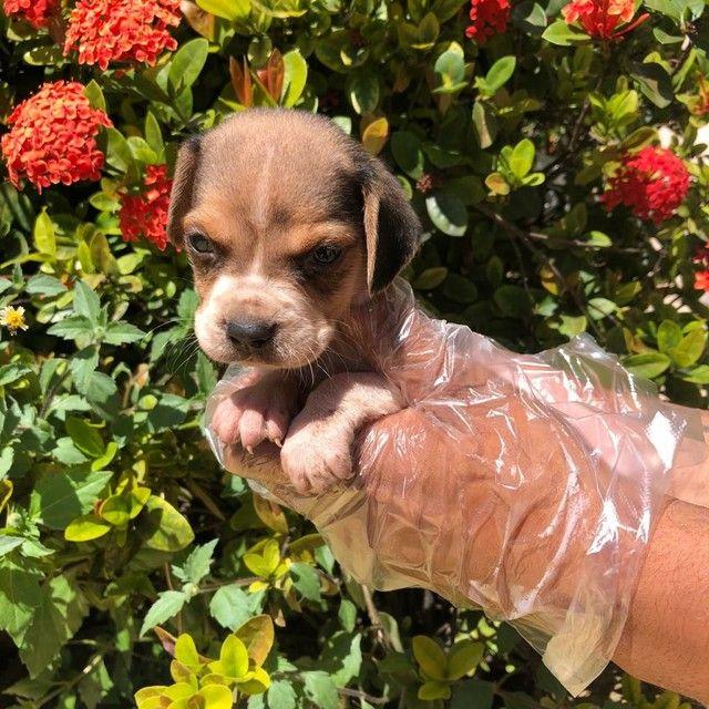 Filhotes de Beagle 13 Polegadas disponível - Foto 5