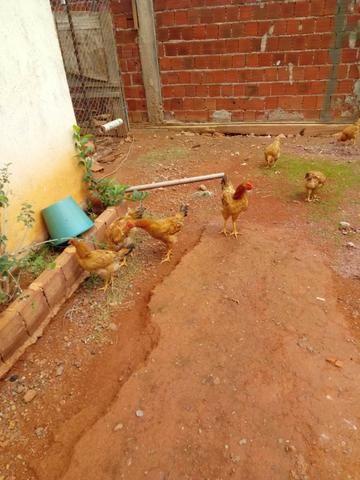 Lote de frangos 150,00 - Foto 3