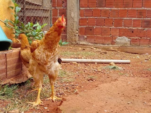 Lote de frangos 150,00 - Foto 6