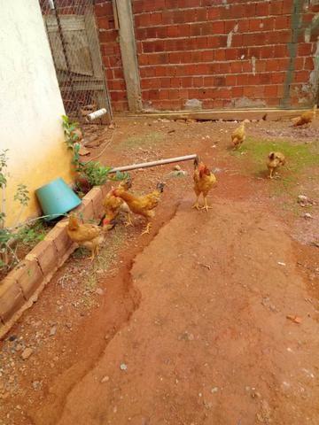 Lote de frangos 150,00 - Foto 4