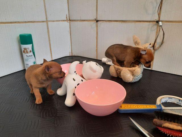 Minúsculos filhotes de pinscher 00 raridade de encontrar com garantia - Foto 5