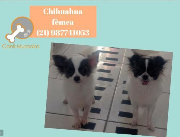 Chihuahua fêmea pêlo longo - parcelado no cartão