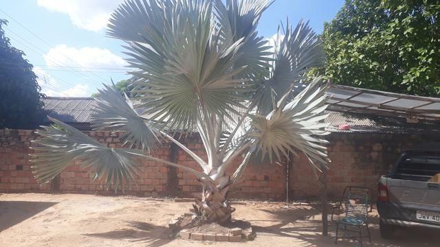 Palmeira azul