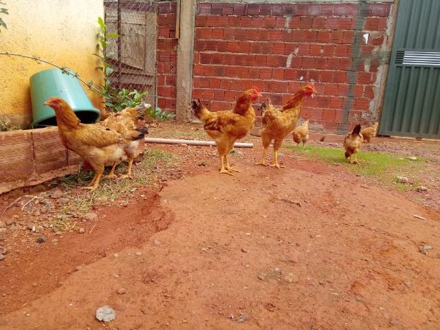 Lote de frangos 150,00 - Foto 5