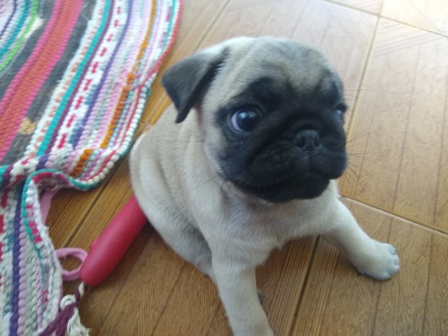 Pug macho - Foto 3