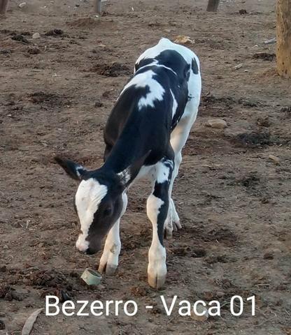 2 vacas paridas - Foto 3