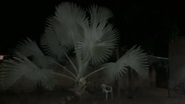 Palmeira azul - Foto 2