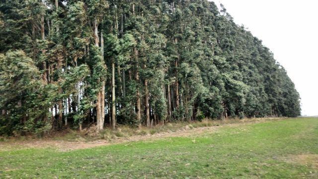Mato de eucalipto - Foto 4