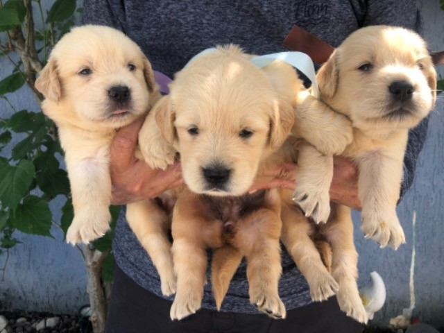 Lindos! Golden Retriever com Pedigree Recibo Garantia  - Foto 5