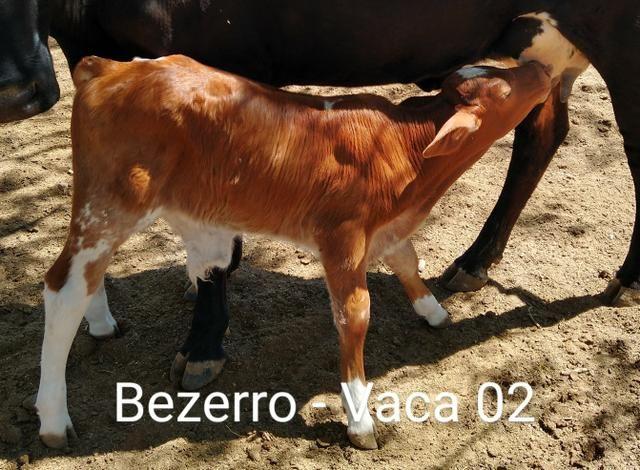 2 vacas paridas - Foto 4