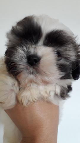 Lhasa apso machinho?