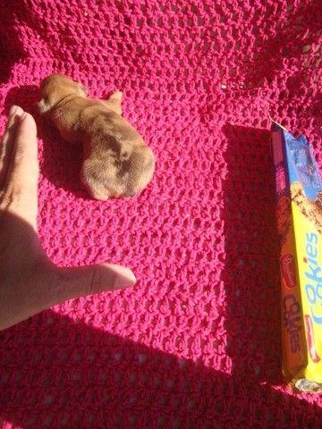 Pinschers Filhotinho de Zero Miniatura Micro, uma feminha e um machinho - Foto 2