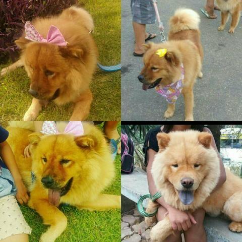 Em breve perfeitos filhotes de Chow Chow (033)999419363 sheila